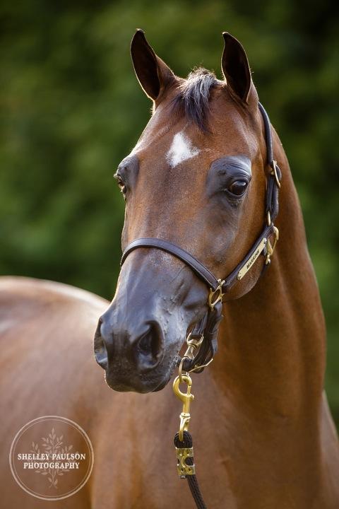 mn-portraits-arabian-horse-02.JPG