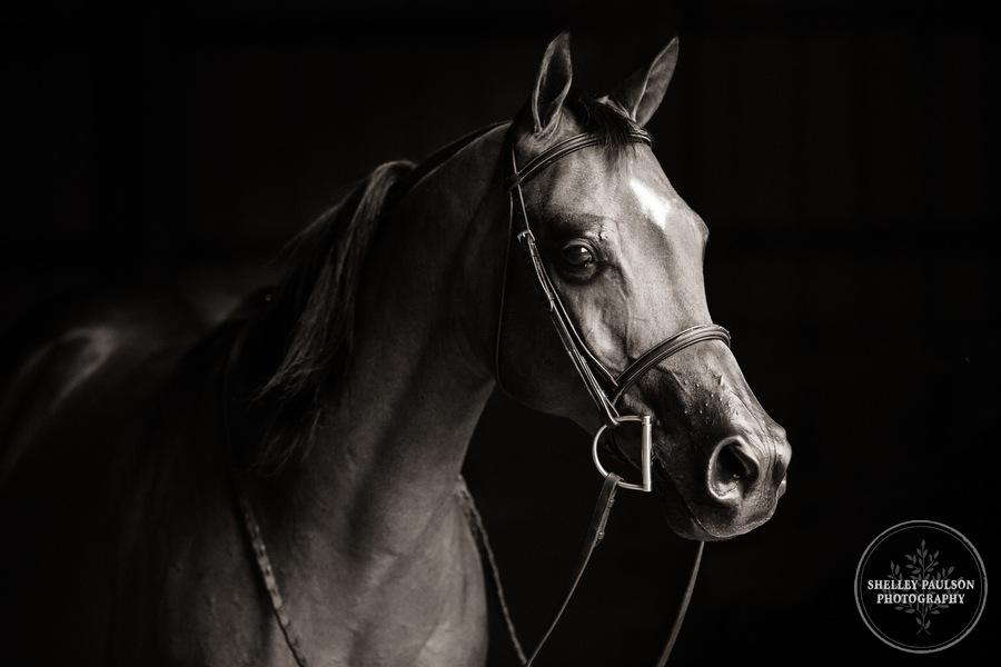 mn-portraits-arabian-horse-08.JPG