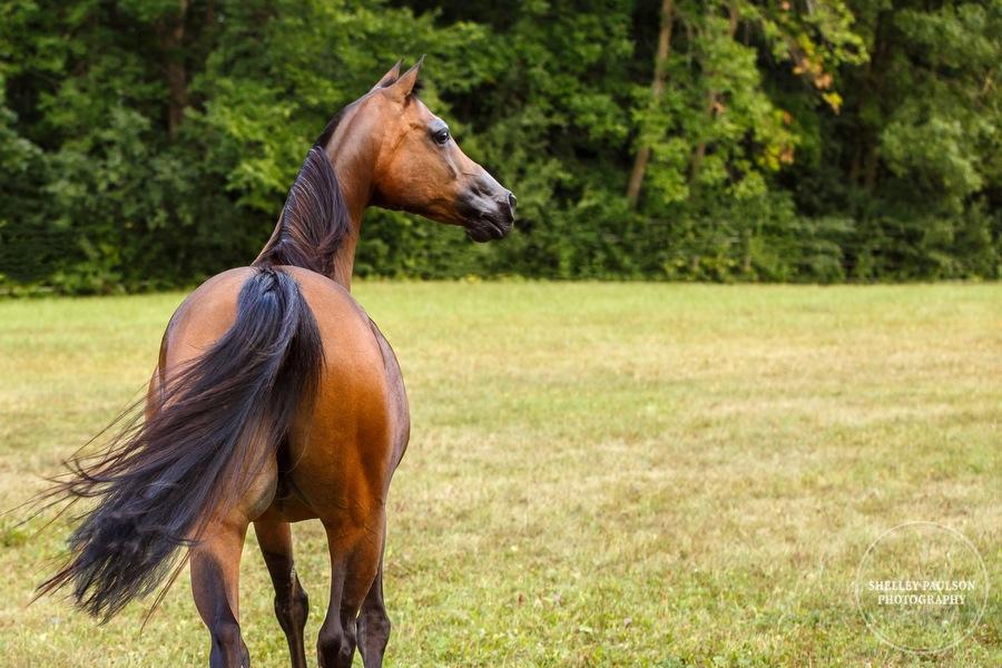 mn-portraits-arabian-horse-11.JPG