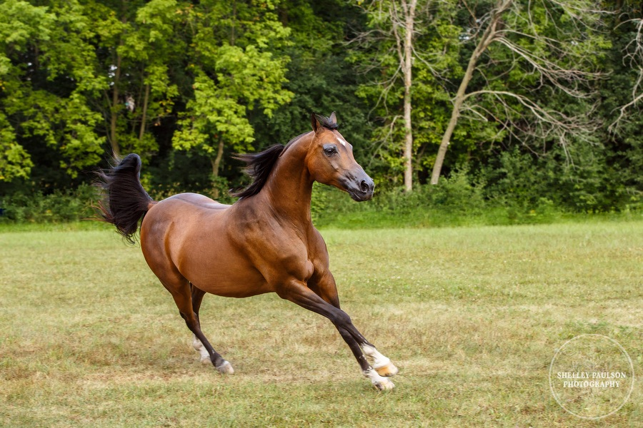 mn-portraits-arabian-horse-12.JPG