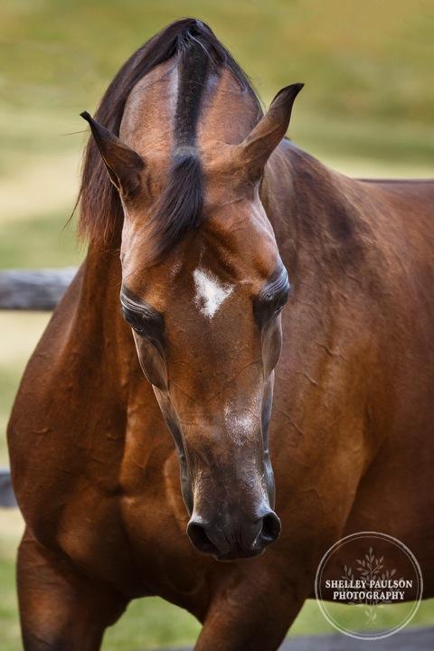 mn-portraits-arabian-horse-14.JPG