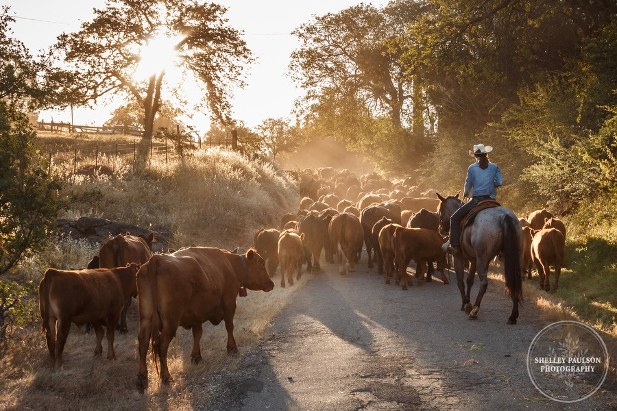 Cattle Drive!