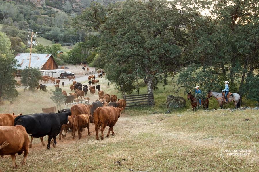 cattledrive04.JPG