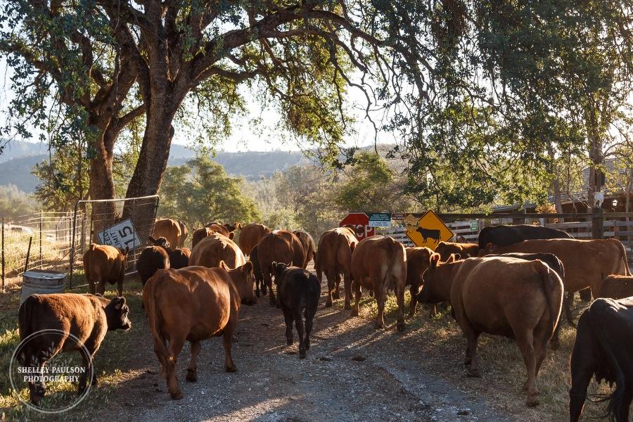 cattledrive08.JPG