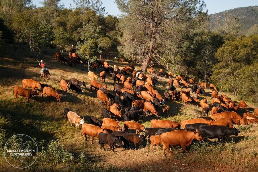cattledrive12.JPG