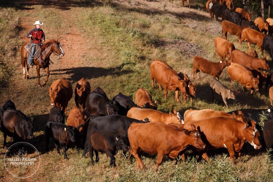 cattledrive13.JPG