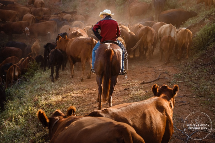 cattledrive14.JPG