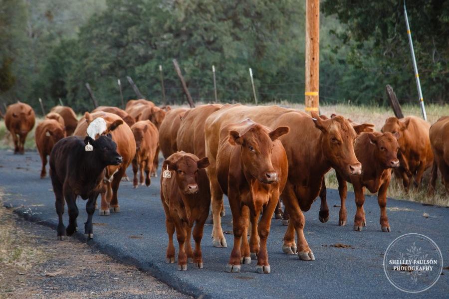 cattledrive17.JPG