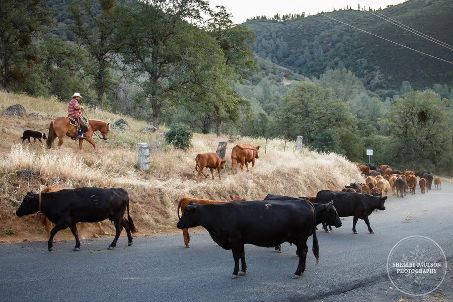 cattledrive18.JPG
