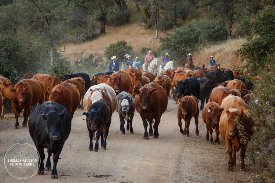 cattledrive19.JPG