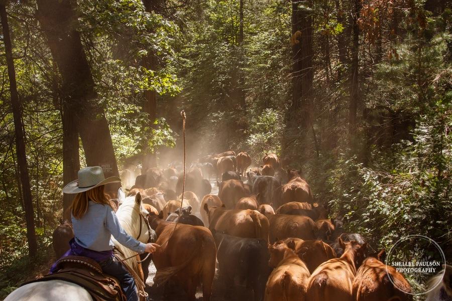 cattledrive32.JPG
