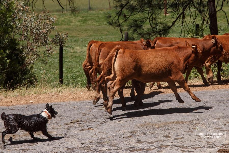 cattledrive33.JPG