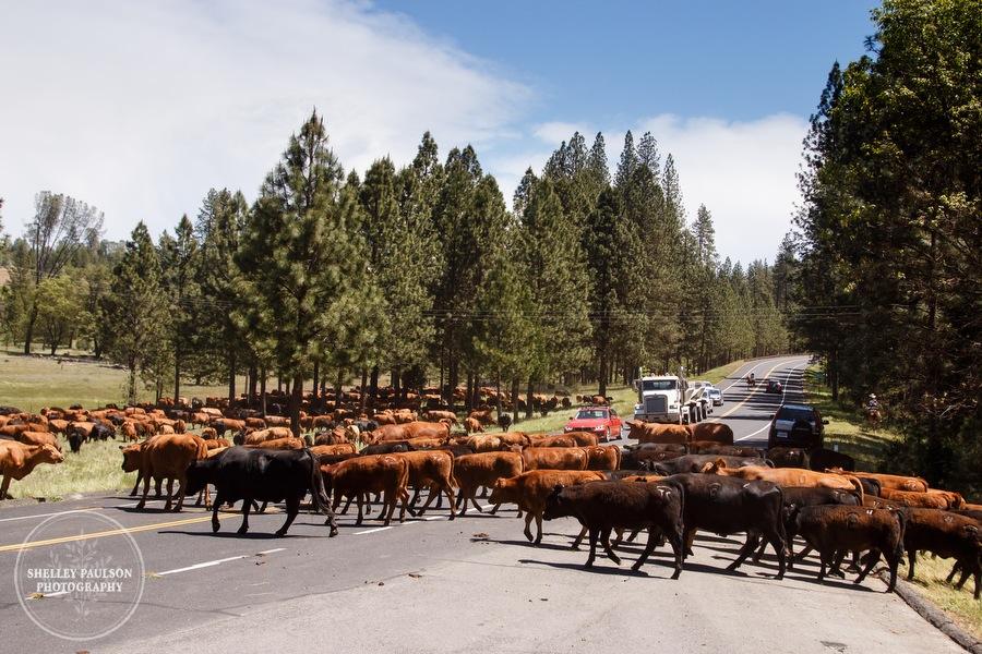 cattledrive34.JPG