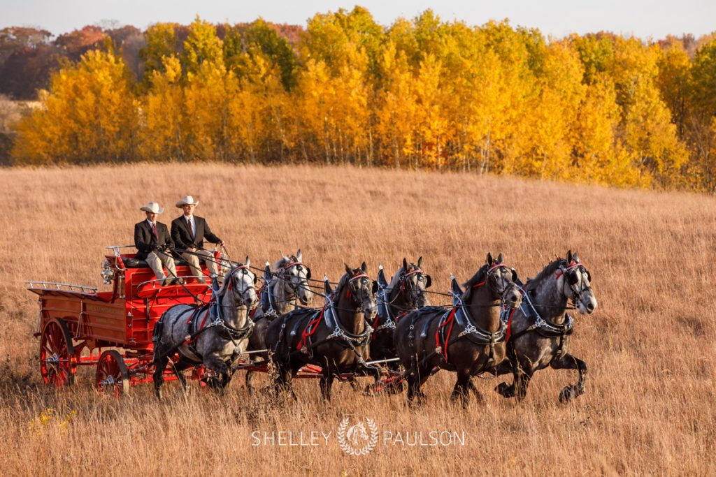 Ames Percherons – Calendar Shoot