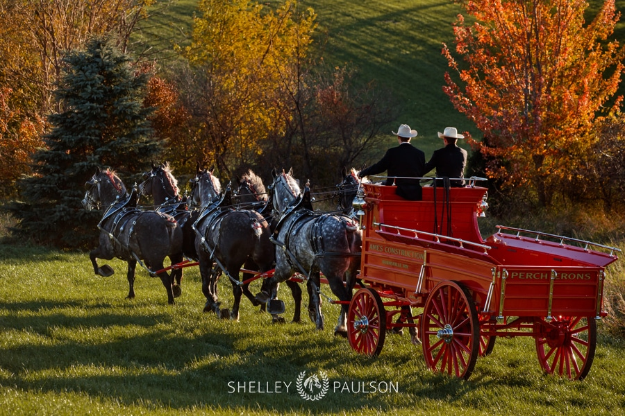 Ames Percherons Fall Photo Shoot