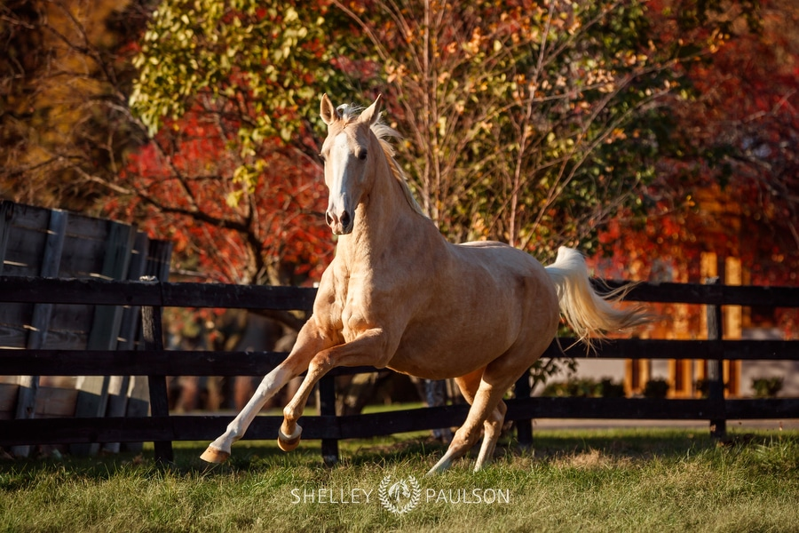 Akhal Teke Horses in Autumn Light