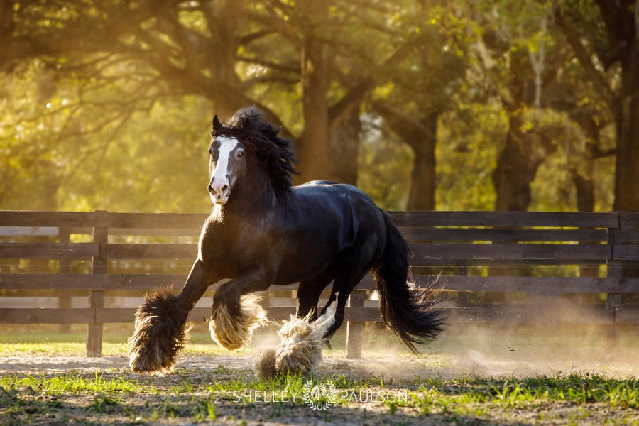 The Gypsy Vanner Horses of Gypsy Gold
