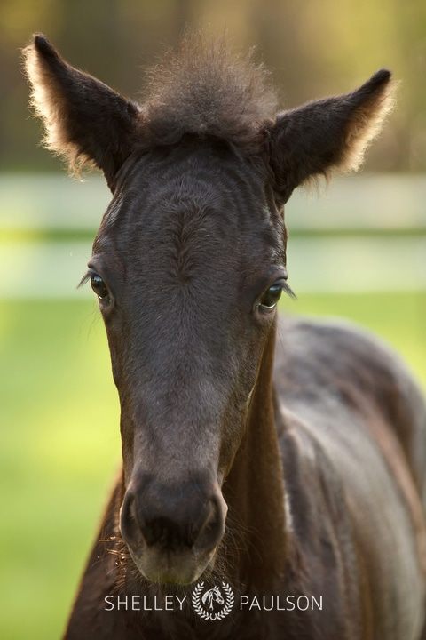 Warmblood Foal Photo