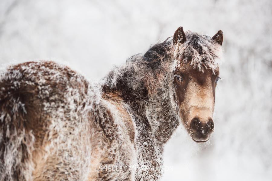 Morgan Horse in frost