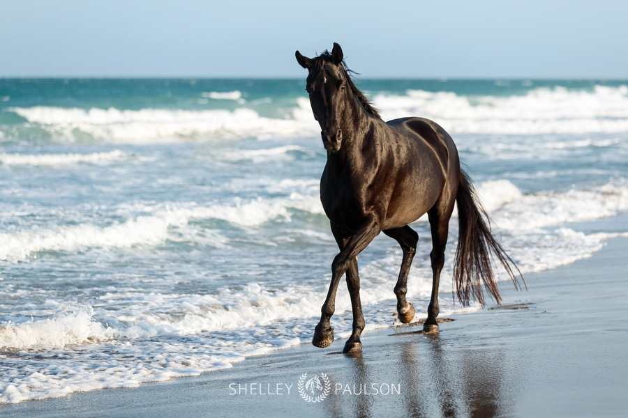 Photo of a black horse trotting on the beach